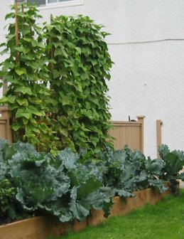 Vertical  garden at back of raised bed garden