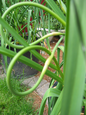 Garlic scapes ... an early taste of garlic ... Garlic pesto YUM!