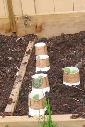 Coffee cups holdig cut worms at bay!