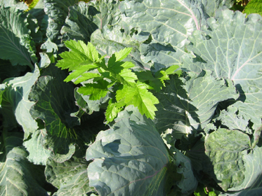 Larger vegetables if planted to close to others creates over crowding. Ask this parsnip growing up between the cabbage plants.