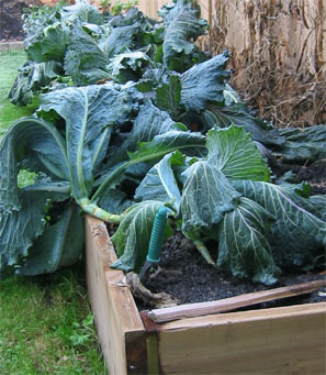 Feeling the cold! These cabbage will live to stand again.