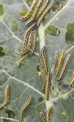 caterpillars feasting