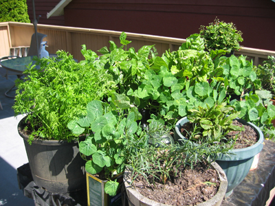 Akitchen garden ... herb gardening in containers