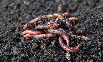 If Earth Worms Like The Fertilizer It Is Good