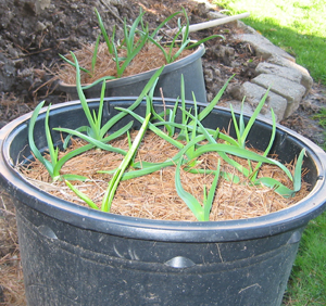 Garlic grows great in containers