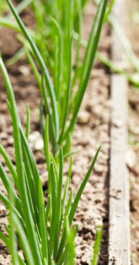 Green onions a cool weather vegetable that is easy to grow