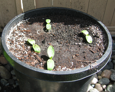 Garden soil is too heavy for growing vegetables in containers so use a potting soil mix