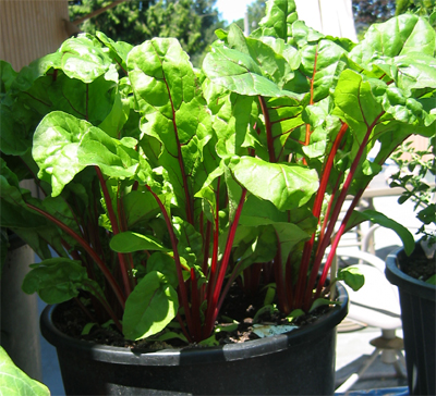 Swiss chard grown from seed