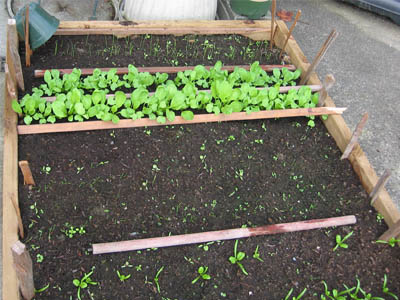 Cool weather vegetables being started in a raised garden bed
