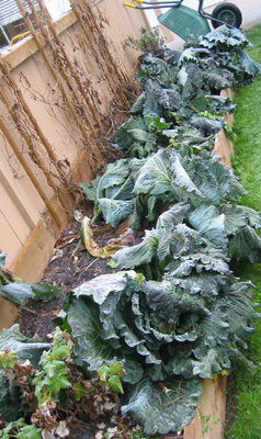 This winter cabbage is feeling the frost ... planted early August