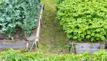 Vegetables cozy and close in raised garden beds