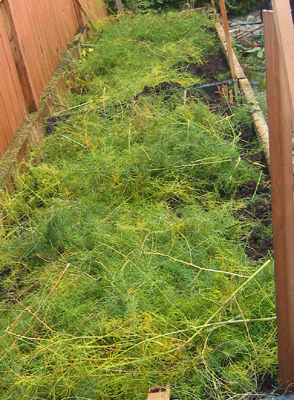 Fall asparagus fern pruning works well for a winter mulch