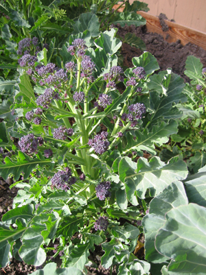 broccolini planted in late summer for winter and spring picking