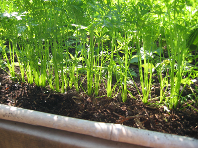 Nice straight carrots growing in a raised garden bed