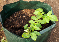 Potatoes planted in a grow bag