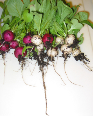 Radishes of all kinds an easy cool weather crop