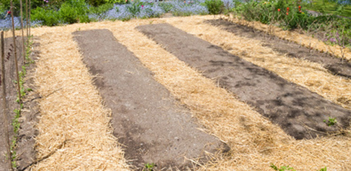 Garden paths mulched with straw prevents soil compaction