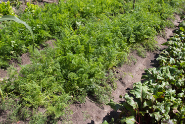 Uncompacted soil in vegetable rows allows for better nutrient absorbsion