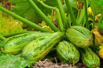 Squash plants can take over a small vegetable garden withoutmuch effort.