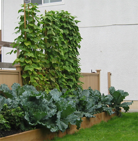 Raised bed garden with cabbage for late fall and winter harvest