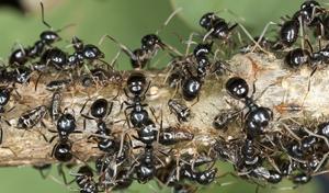 ants farm aphids
