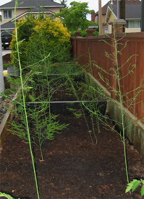 how to raise asparagus in a raised bed