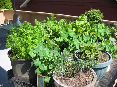 Akitchen garden ... herb gardening in containers