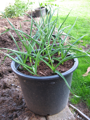 The gardener moves this pot of garlic close to aphid infestations. Does it work? He thinks so.