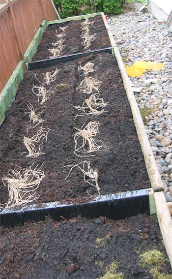 Growing asparagus ... planting asparagus crowns