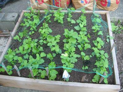 Raised bed garden of parsnip