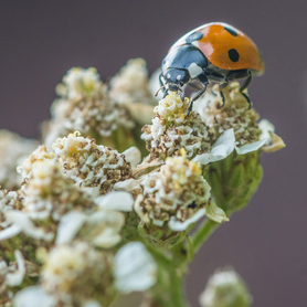 lady bugs are good to control aphids